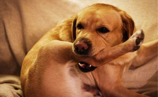 Собака грызет свою заднюю лапу