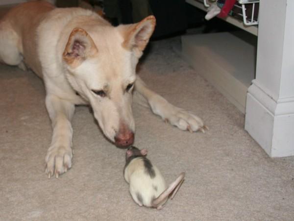 Собака и крыса