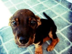 Слабенький щенок (заморыш)