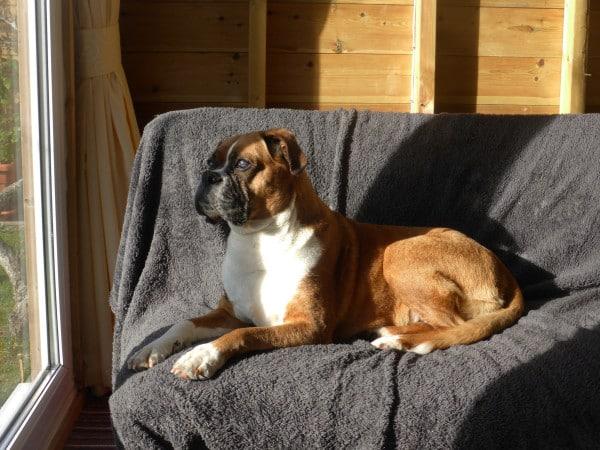 Собака породы Немецкий боксер на диване