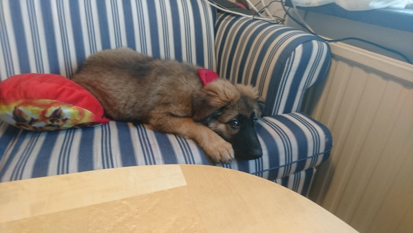 Щенок леонбергера лежит на диване