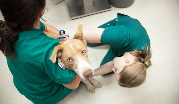 Собака на прививке у ветеринара