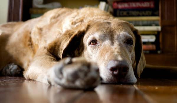 Старая собака лежит