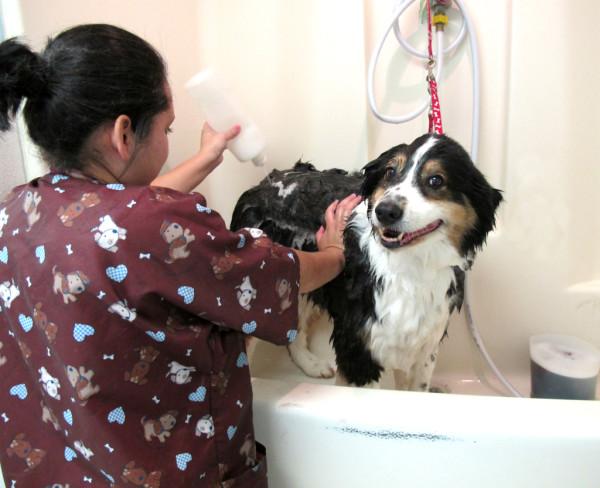Грумер купает собаку