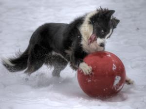 Бордер-колли с мячом на снегу