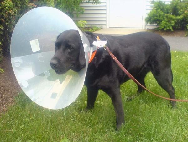 Пластиковый (елизаветинский) воротник на собаке