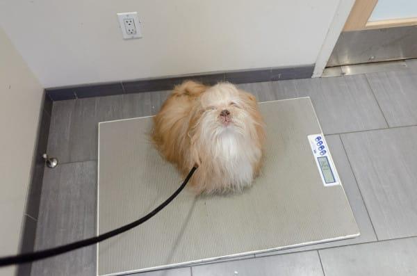Маленькая собачка на весах