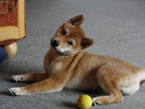 Щенок Сиба-ину с мячиком