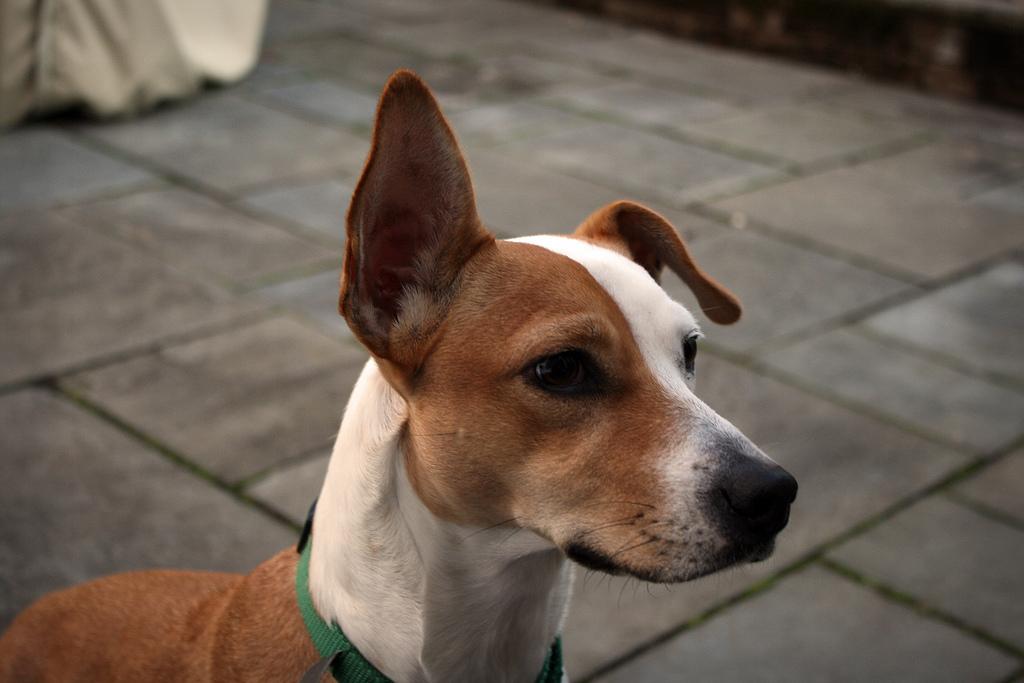 Собака с висячим ухом