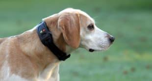 Собака в электронном ошейнике