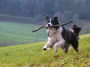 Бордер-колли бежит с палкой