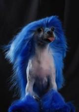 Китайская хохлатая с окрашенной в синий цвет шерстью