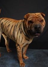 Шар-пей, окрашенный в тигра
