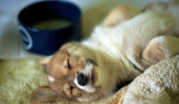 Щенок вельш корги спит возле миски