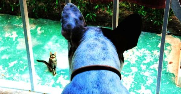 Французский бульдог смотрит на кошку