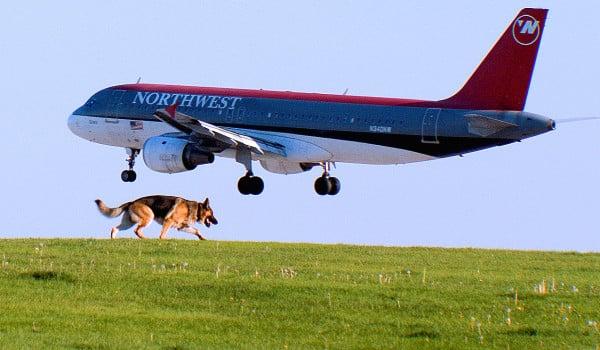 Немецкая овчарка на аэродроме