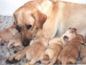 Грустная сука со щенками