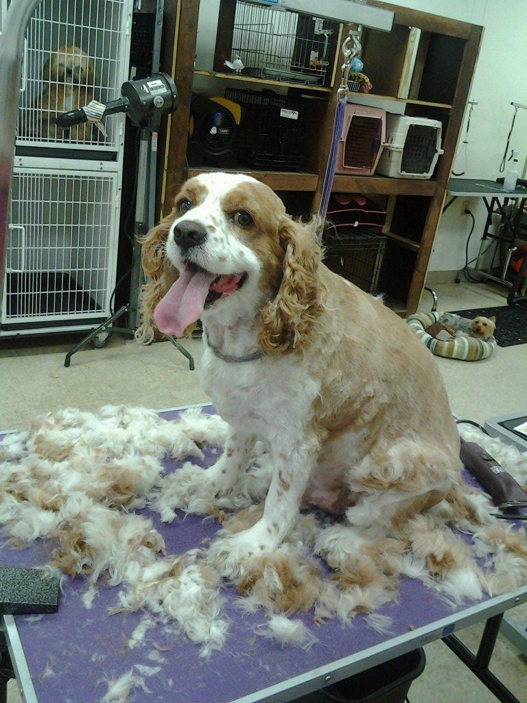 Собака во время стрижки