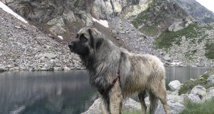 Леонбергер на прогулке в горах