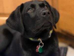 Лабрадор - собака для детей