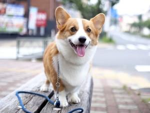 Вельш корги - собака для детей