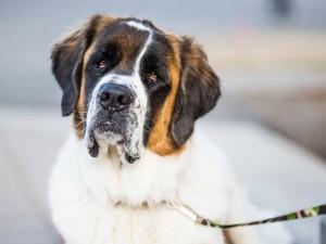 Сенбернар - собака для детей