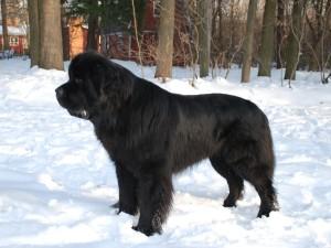 Ньюфаундленд - собака для детей