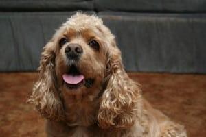 Американский кокер-спаниель - собака для детей