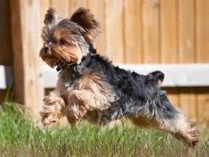 Йоркширский терьер - собака для ребенка