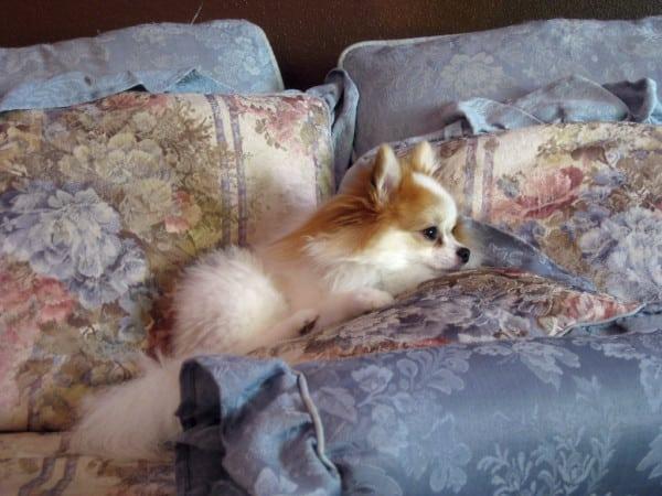 Шпиц лежит на кровати