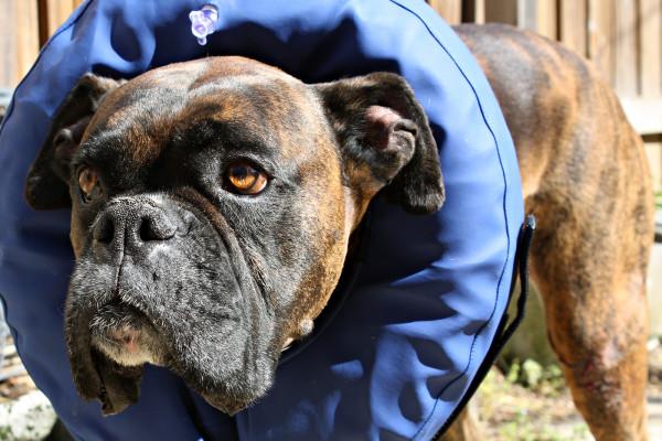 Собака в надувном защитном воротнике.