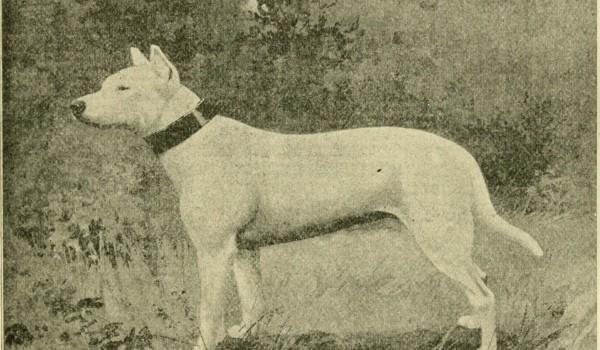 Бультерьер в XIX веке