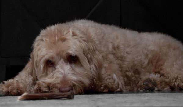 Грустная больная собака