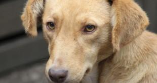 Лептоспироз у собаки