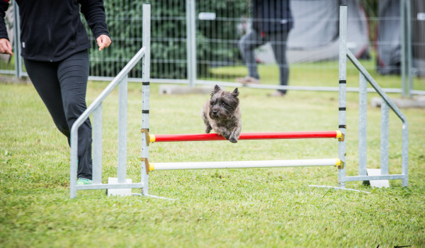 Собака прыгает через барьер в аджилити