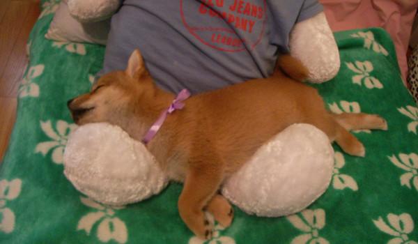Щенок сиба-ину спит на мягкой игрушке