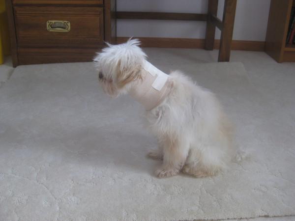 Собака в шейном корсете