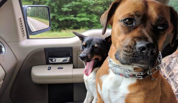 Две собаки в машине