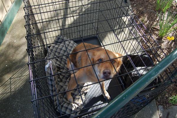 Собака в клетке-изоляторе