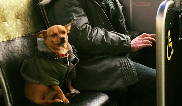 Чихуахуа в автобусе