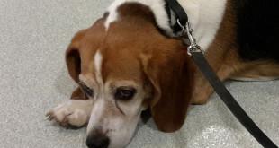 Больная микоплазмозом собака с конъюнктивитом