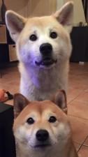 Акита-ину и сиба-ину рядом