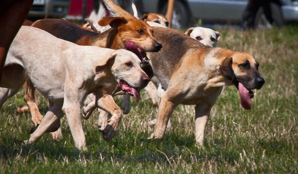 Собаки вместе гуляют