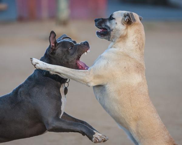 Американский стаффордширский терьер скалится на другую собаку