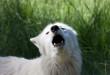 Белая собака лает