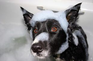 Черная собака купается в мыльной пене