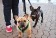 Две собаки породы французский бульдог