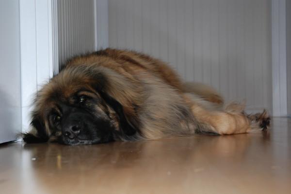 Леонбергер лежит на полу