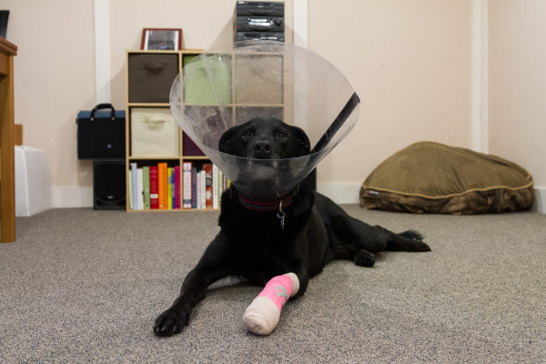 Собака в защитном воротнике с повязкой на лапе