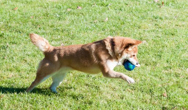 Сиба-ину играет с мячиком